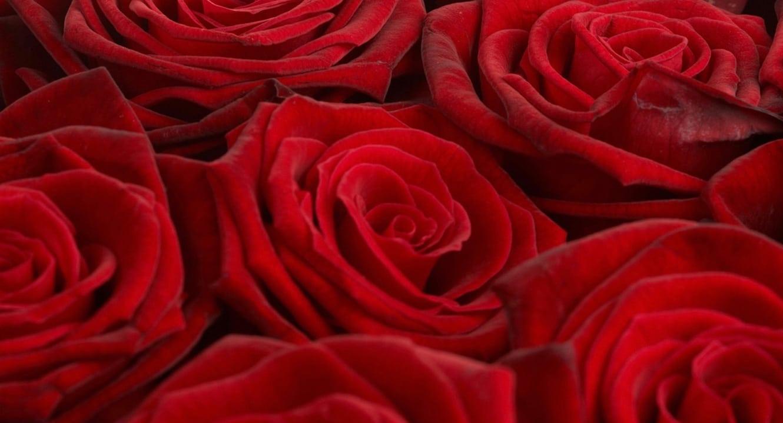 Rosenblüten. Ihr Duft hilft Sterbenden das Leben loszulassen